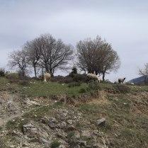 Стадо овчици